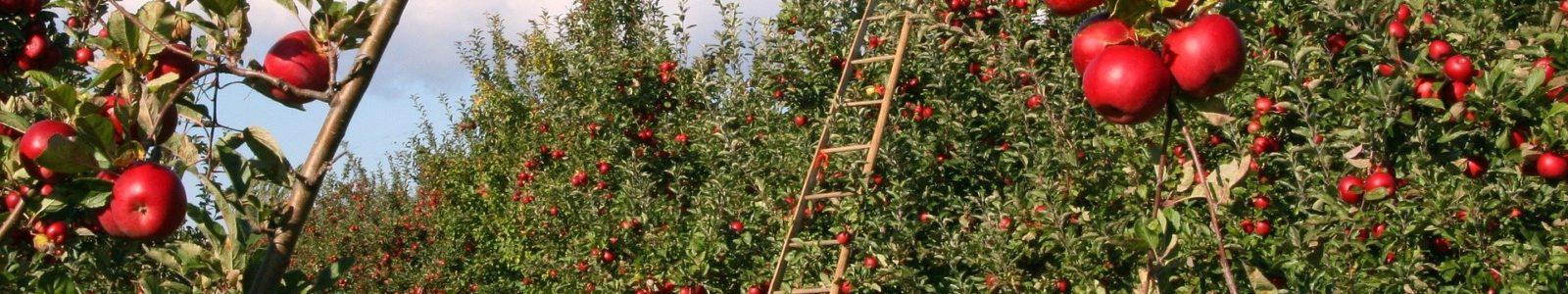 Inmitten einer Apfelbaumplantage steht eine Leiter und zwei gefüllte Körbe mit roten Äpfeln